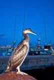 Great cormorant bird (Phalacrocorax carbo) Stock Image