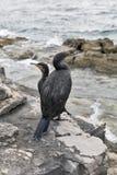 Great Cormorant Birds in Istria, Croatia Stock Photography