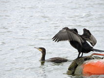 Great Cormorant birds Royalty Free Stock Photos