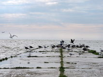 Great Cormorant birds and seagull , Lithuania Royalty Free Stock Photography
