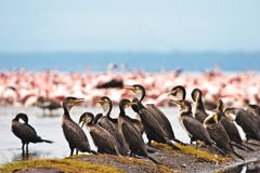 Great Cormorant Birds Sitting In A Lake Stock Photography