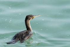 Great Cormorant blinded with Ghost net (fishing net) Royalty Free Stock Image