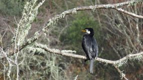 Great Cormorant on branch with white moss. In the early winter Royalty Free Stock Image