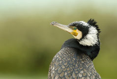 Great cormorant, a closer look. The Great Cormorant is a large black bird with long tail and yellow throat-patch stock photo