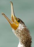 Great Cormorant closeup Royalty Free Stock Photo