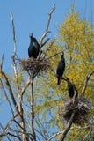 Great Cormorant colony Stock Photos