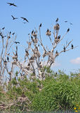 Great cormorant colony Royalty Free Stock Photography