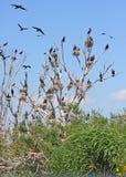 Great cormorant colony. Great cormorant (phalacrocorax carbo) colony Royalty Free Stock Photography