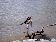 Great cormorant is drying his wings. After deep swimm.. on the bank of River Brisbane in Australia stock images