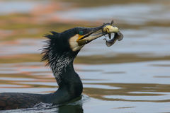 Great Cormorant eat a large fish Stock Photo