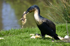 Great Cormorant eating chik Royalty Free Stock Images