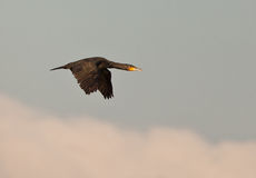 A great Cormorant in fast flight. The Great Black Cormorant (Phalacrocorax carbo) has short wings which makes it´s flight quite hectic and fast Stock Photo