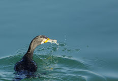 Great Cormorant with fish catch Royalty Free Stock Image
