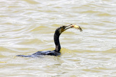 The great cormorant fishing Stock Photography