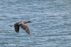 Great Cormorant  in flight Stock Images