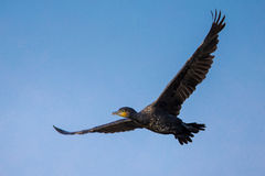 Great Cormorant in flight Stock Photography