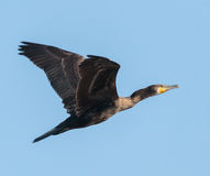 Great Cormorant in flight Royalty Free Stock Images