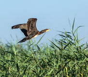 Great Cormorant in flight. Great Cormorant Phalacrocorax carbo in flight against blue sky Royalty Free Stock Image