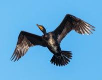 Great Cormorant in flight Stock Photography