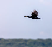 Great Cormorant in flight Stock Photo