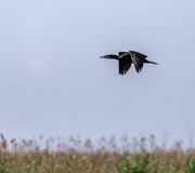 Great Cormorant in flight Royalty Free Stock Image