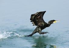 Great cormorant flying Stock Photo
