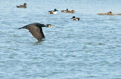 Great Cormorant flying over the water Royalty Free Stock Photo