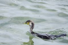 Great Cormorant with Ghost net stuck on beak Royalty Free Stock Photos