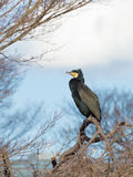 Great Cormorant with green eyes Royalty Free Stock Photo
