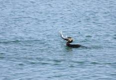 Great Cormorant gulping a big fish Stock Photos