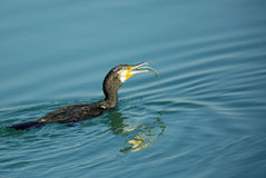 Great Cormorant gulping the fish Royalty Free Stock Photography