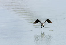 Great Cormorant hopping to fly Stock Image