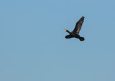 Great Cormorant In Flight Royalty Free Stock Photography