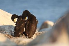 Great cormorant Stock Photos