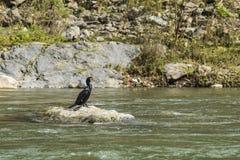 Great Cormorant Katsura River Japan Royalty Free Stock Photo