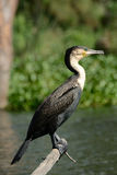 Great cormorant, Lake Naivasha, Kenya. Great cormorant at Lake Naivasha, Kenya Royalty Free Stock Image