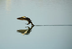Great Cormorant landing Stock Photo