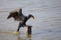 Great Cormorant landing Royalty Free Stock Photos