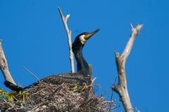 Great Cormorant on nest Royalty Free Stock Photos