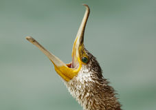 Great Cormorant with open bill Stock Photo