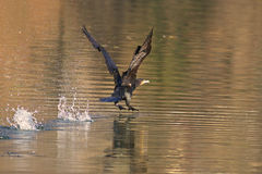 Great cormorant with open wings Royalty Free Stock Image