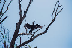 Great cormorant with open wings in a tree Stock Photos