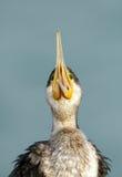 Great cormorant opening its beak Royalty Free Stock Image