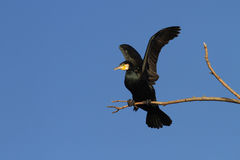 Great cormorant Royalty Free Stock Image
