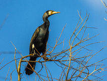 Great Cormorant perched in tree Stock Photography