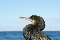 Great Cormorant (Phalacrocorax Carbo) Royalty Free Stock Photos