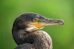 A Great Cormorant & x28;Phalacrocorax carbo& x29; stock photos