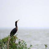 The Great Cormorant - Phalacrocorax carbo Royalty Free Stock Photography