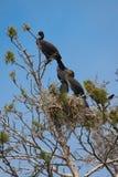 Great Cormorant (Phalacrocorax carbo) Stock Photography