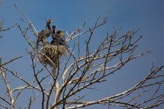 Great Cormorant (Phalacrocorax carbo) Royalty Free Stock Image